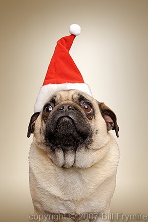 Christmas-dog-pug-Santa-hat-434