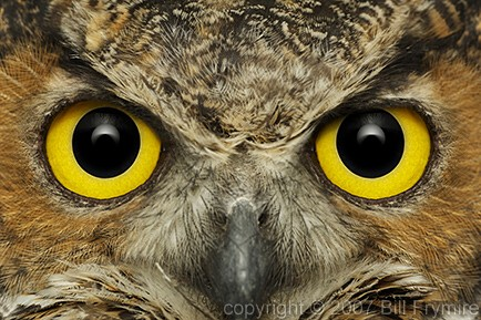 eyes-great-horned-owl-intense-434