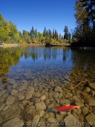 spawning-salmon-autumn-fish-lake-434
