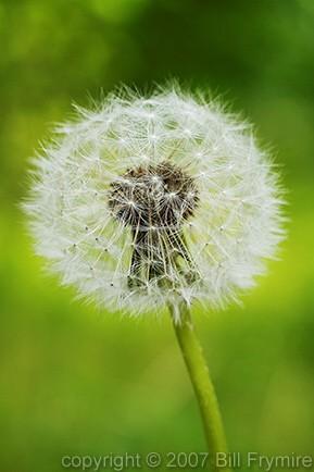 dandelion-seed-weed-flower.jpg