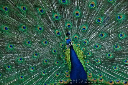male-peacock-feathers.jpg