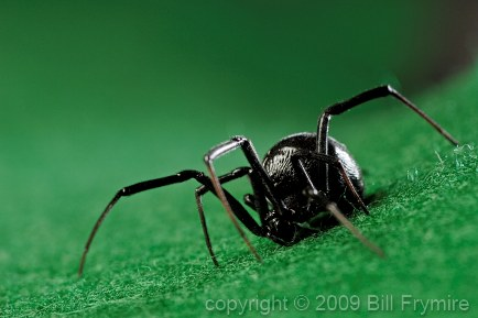 black-widow-spider.jpg