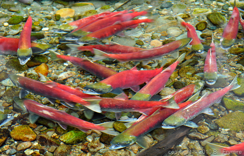 sockeye-salmon-run-800