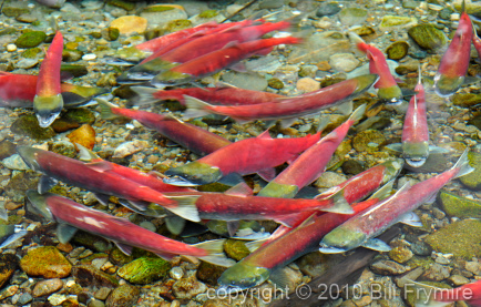 sockeye-salmon-run