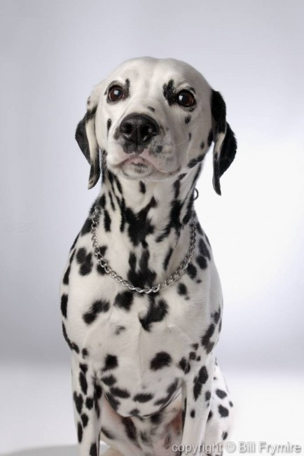 Dalmation Dog, copyright 2005 Bill Frymire