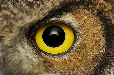 great horned owl eye  ...