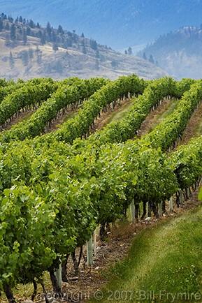 Grape vinyard near Osoyous BC Canada Osoyous Lake.