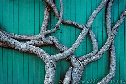 Tree with Intertwined limbs - copyright 2005 Bill Frymire