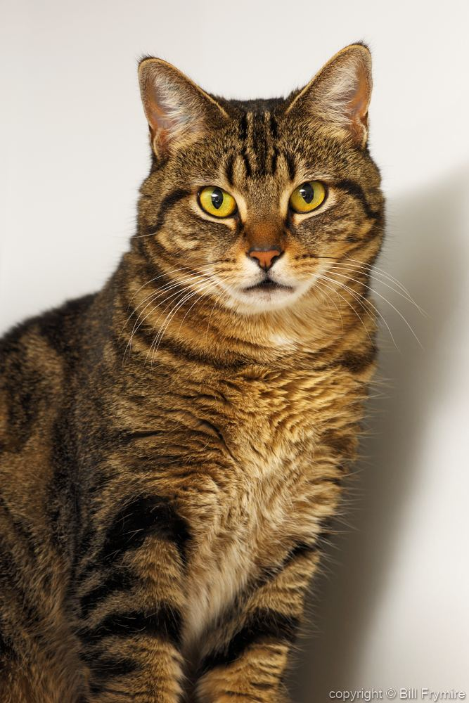 Are Brown Tabby Cats A Breed